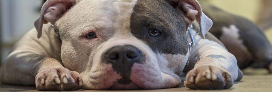 Assurer un chien de deuxième catégorie: quelle formule choisir ?